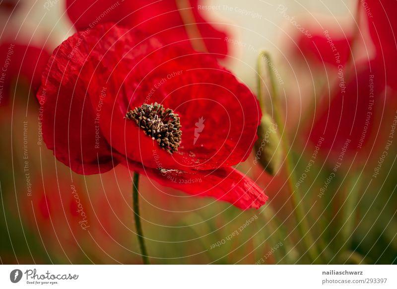 Mohn Natur grün schön Pflanze rot Blume Landschaft Erholung Umwelt Liebe Wiese Wärme Blüte Garten natürlich Stimmung
