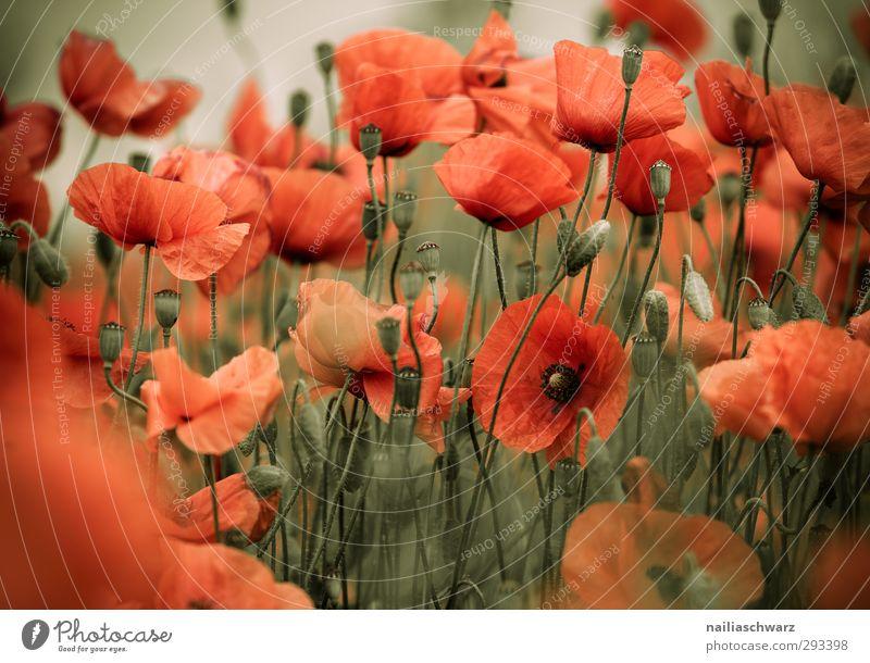 Rot Natur grün schön Sommer Pflanze rot Blume Landschaft Erholung Wiese Wärme Blüte Garten natürlich Stimmung Park