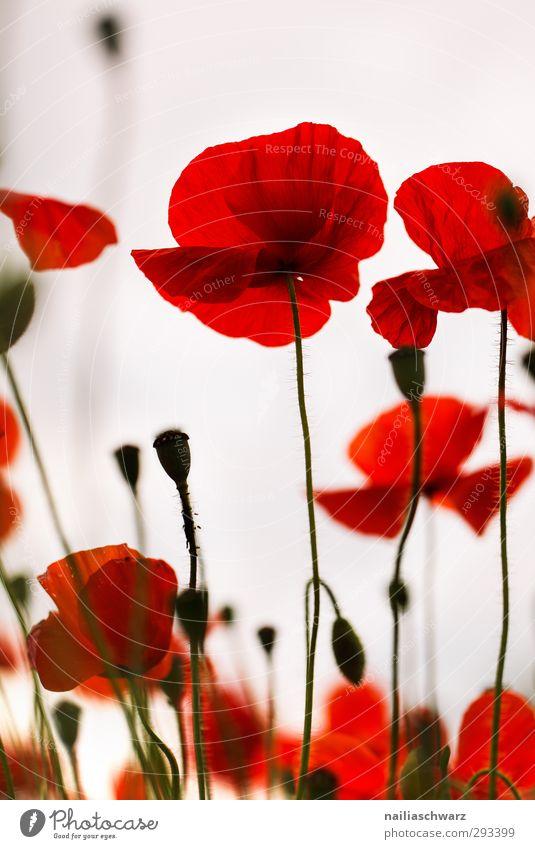 Rot Natur schön Pflanze rot Blume Landschaft Erholung Umwelt Wiese Blüte Garten natürlich Stimmung Park Feld wild