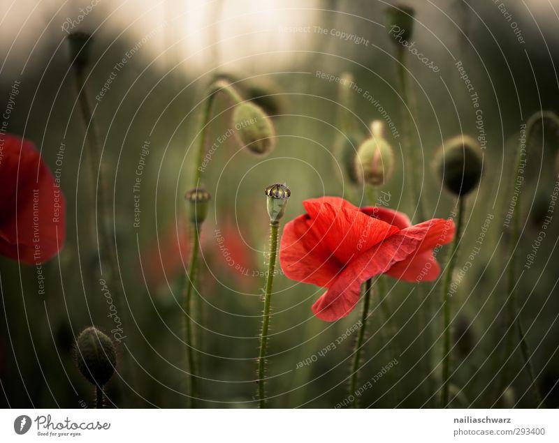 Mohn Natur grün schön Sommer Pflanze rot Blume Landschaft Erholung dunkel Wiese Frühling Blüte Garten Stimmung Park