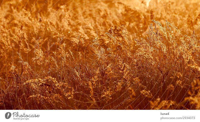 Gräser bei Sonnenaufgang ruhig Umwelt Natur Landschaft Herbst Wetter Gras Wiese Feld gelb rot Stimmung Romantik Idylle Atmosphäre abgelegen Brandenburg