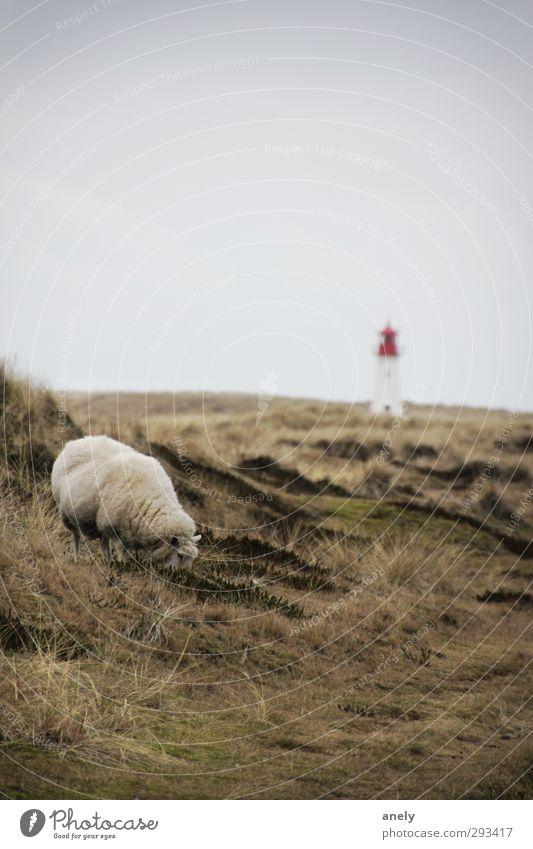 Winter auf Sylt Natur Landschaft Wiese Nordsee Insel Nutztier Schaf 1 Tier Leuchtturm Zufriedenheit Einsamkeit Erholung Gelassenheit Idylle ruhig Fressen