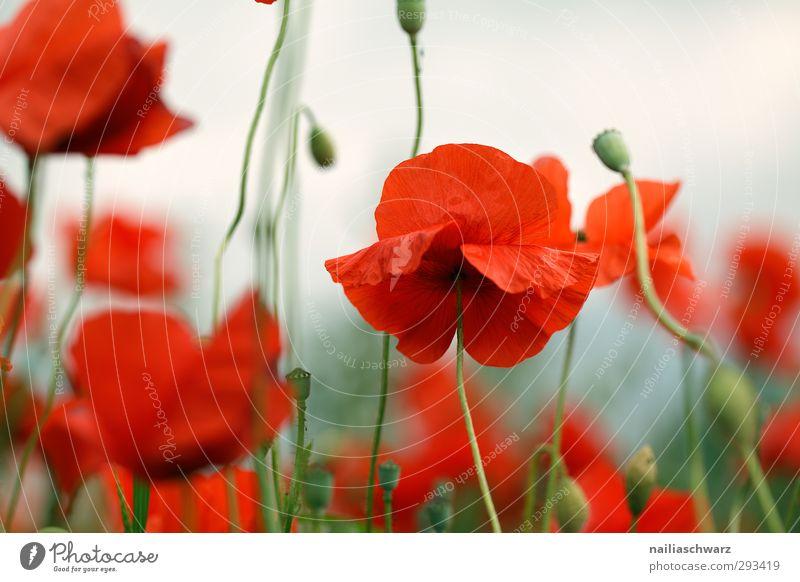 Mohn Natur grün schön Pflanze rot Blume Landschaft Erholung Wiese Garten natürlich Stimmung Park Feld wild Wachstum