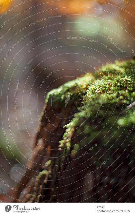 Waldversteck Umwelt Natur Pflanze Moos Grünpflanze natürlich grün Farbfoto Außenaufnahme Nahaufnahme Detailaufnahme Makroaufnahme Menschenleer Tag