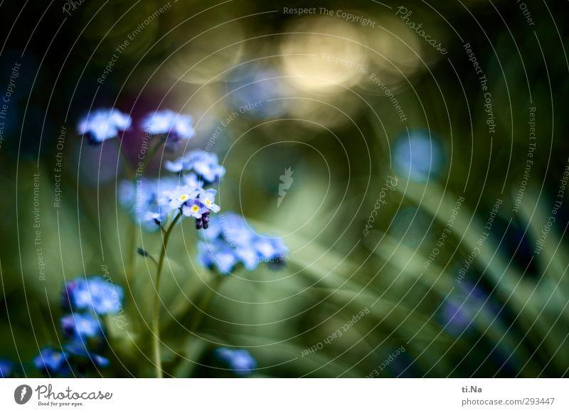 wiedergefunden Gartenarbeit Frühling Sommer Pflanze Blume Blüte Vergißmeinnicht Wiese Blühend Duft glänzend Wachstum ästhetisch schön klein natürlich wild blau