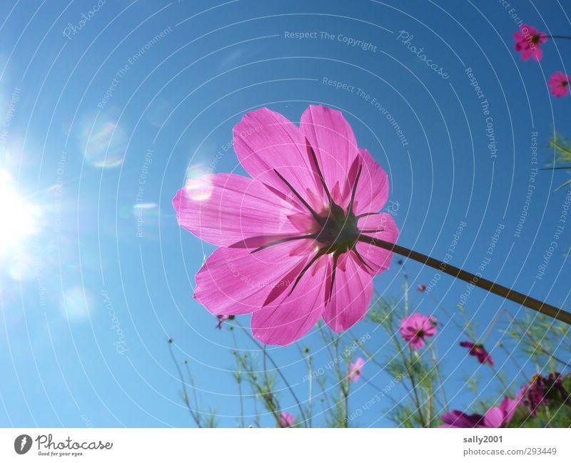 SOMMER!!!!!!!!! Natur Pflanze Himmel Wolkenloser Himmel Sonne Sonnenlicht Sommer Schönes Wetter Blume Blüte Schmuckkörbchen Park Wiese berühren Blühend leuchten