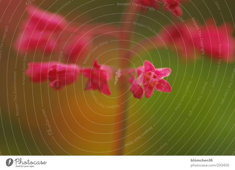 Kleine Vorfreude... Natur Pflanze Blume Blüte Purpurglöckchen Garten Blühend Duft ästhetisch einfach Freundlichkeit frisch schön natürlich grün rot