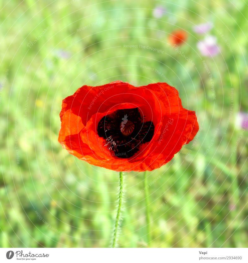 Schöner roter Mohn schön Leben Sommer Garten Tapete Umwelt Natur Landschaft Pflanze Sonnenlicht Frühling Blume Gras Blatt Blüte Wildpflanze Wiese Feld Wachstum