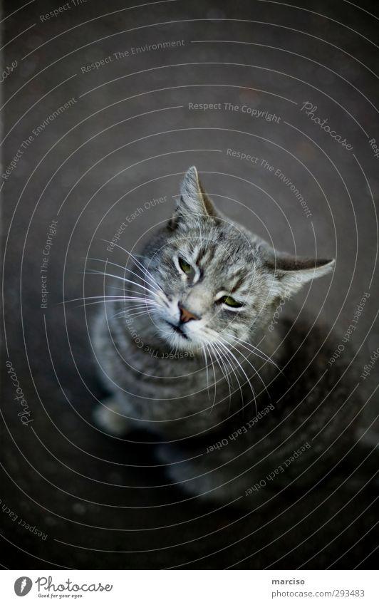 Schmusekater Katze Tier Erholung träumen wild sitzen warten niedlich Neugier Fell Tiergesicht Haustier Hauskatze Pfote listig Raubkatze