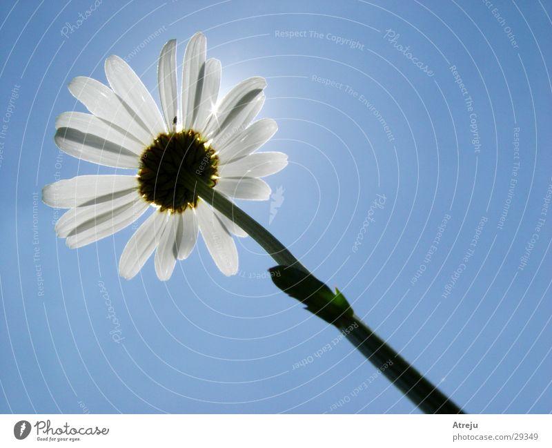 Durch die Blume Himmel Sonne Blume Pflanze Sommer Frühling