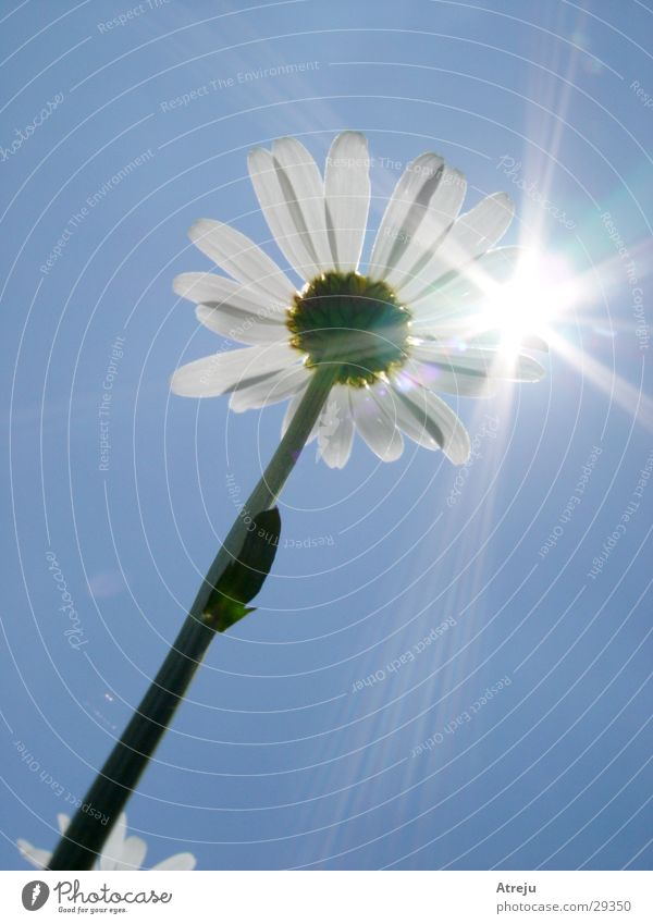 Zum Licht Himmel Sonne Blume Sommer Frühling Beleuchtung heiß