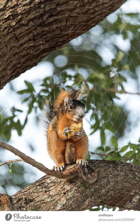 Südfüchse Eichhörnchen Sciurus niger Essen Natur Tier Baum Wildtier 1 sitzen lustig niedlich braun Fuchshörnchen Tierwelt Barsch unscharf wach wachsam