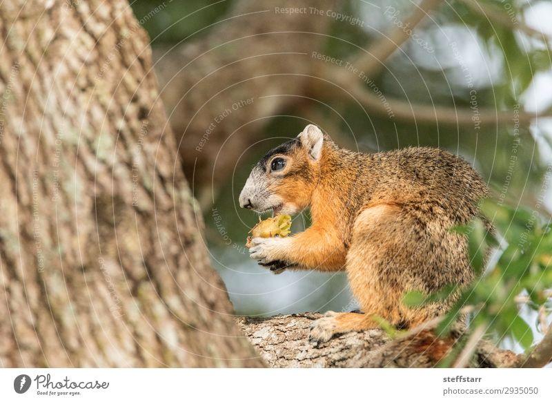 Südfüchse Eichhörnchen Sciurus niger Essen Natur Tier Baum Wildtier Tiergesicht 1 sitzen lustig niedlich braun Fuchshörnchen Tierwelt Barsch unscharf wach
