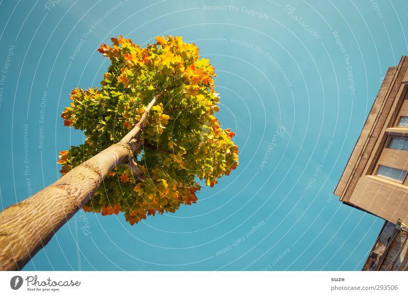 Krönchen am Eck Umwelt Natur Pflanze Himmel Wolkenloser Himmel Herbst Klima Wetter Schönes Wetter Baum Haus Gebäude Fassade ästhetisch groß hoch schön Stadt