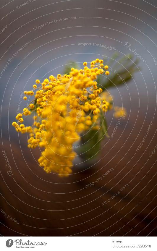 Mimose Pflanze Blume Grünpflanze Wildpflanze Topfpflanze exotisch gelb grün Mimosenzweig Farbfoto Innenaufnahme Nahaufnahme Makroaufnahme Menschenleer Tag