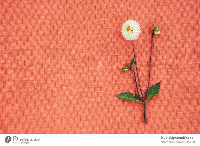 Weiße Dahlien auf pfirsichfarbener Leinwand mit Kopierraum elegant schön Sommer Garten Gartenarbeit Natur Pflanze Blume Blatt Blüte Stoff Blühend einfach hell