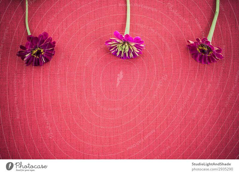 Drei Zinnien auf tiefroter Leinwand mit Kopierraum elegant Design schön Sommer Garten Gartenarbeit feminin Natur Pflanze Blume Blüte Stoff Blühend dunkel