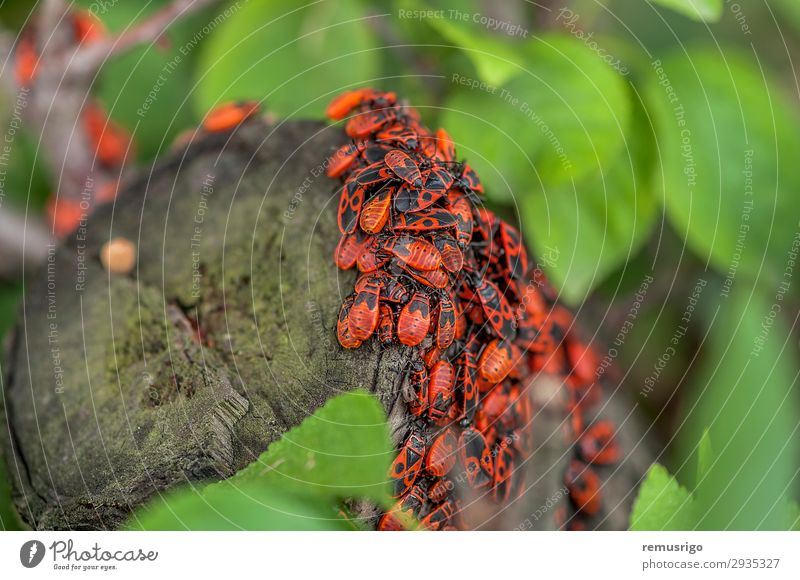 Eine Gruppe von Feuerwanzen. Natur Blatt Antenne hängen sitzen Arthropode Hintergrund Biologie Lebewesen Wanze Insekt Totholz Frühling Farbfoto Außenaufnahme