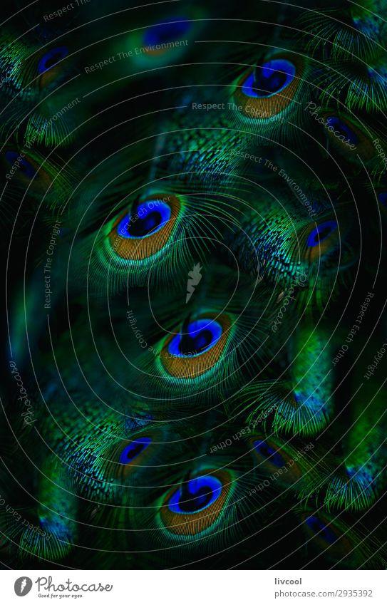 Pfauenfedern schön Natur Tier Wildtier Vogel 1 Linie Coolness dunkel niedlich blau grün ruhig elegant Pfirsichbaum Feder Hintergrund Leitwerke kreisen albanien