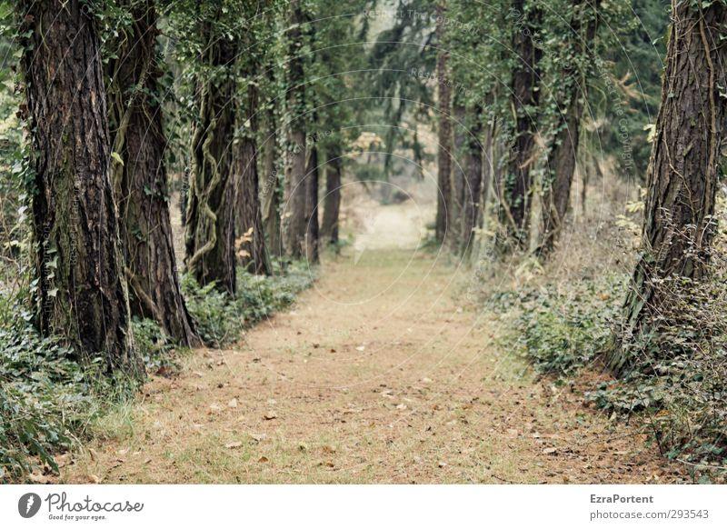 Avenue harmonisch Umwelt Natur Landschaft Pflanze Erde Herbst Baum Gras Sträucher Efeu Wald Verkehr Wege & Pfade Sand Holz ästhetisch natürlich schön braun grün