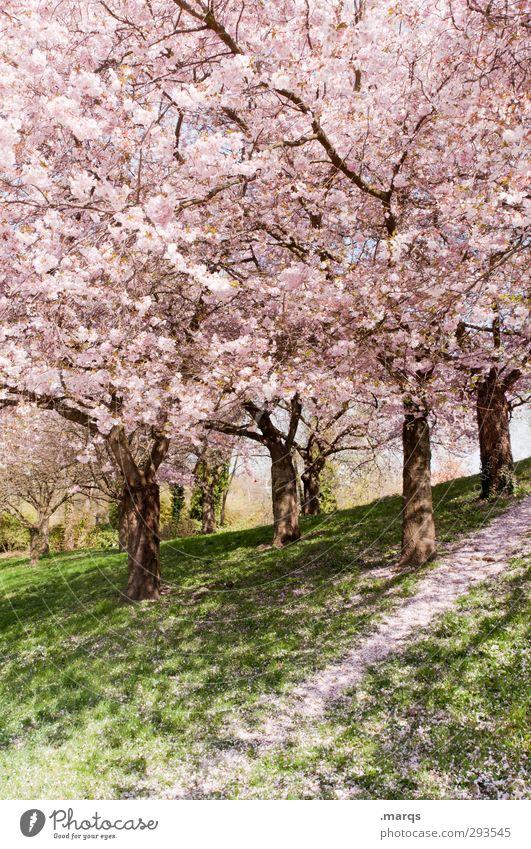 Coming Soon Natur Landschaft Pflanze Frühling Schönes Wetter Gras Blüte Kirschblüten Kirschbaum Park Hügel Wege & Pfade frisch hell natürlich schön rosa Frieden