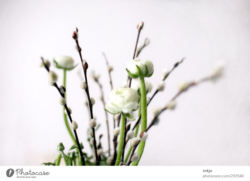 Frühling: Tendenz zuversichtlich! Natur Blume Blüte Weidenkätzchen Blumenstrauß Ranunkel Blühend dünn schön klein lang weich braun grün weiß Wachstum