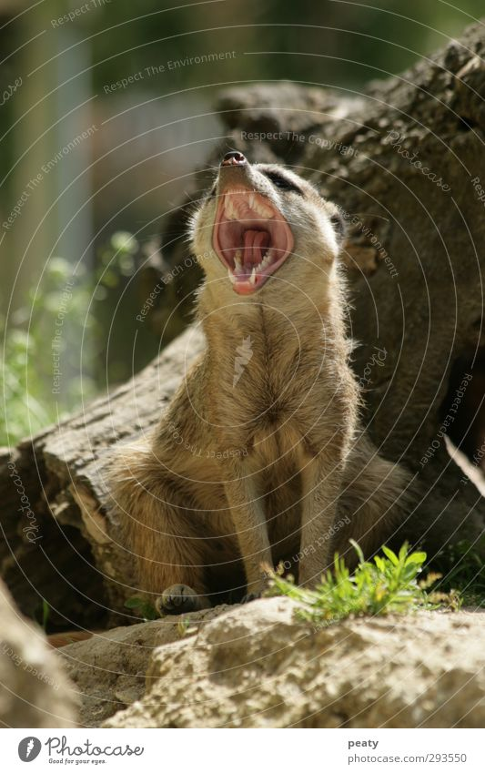 Erdmännchen Fell Tier Säugetier Surikate sciurinae Gebiss gähnen vertikal sitzen Tierporträt