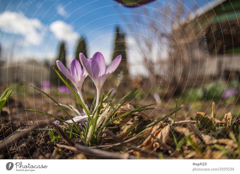 Lila Krokus im Garten Umwelt Natur Pflanze Himmel Wolken Sonne Frühling Schönes Wetter Blume Blüte Grünpflanze schön blau braun gelb violett weiß Wachstum