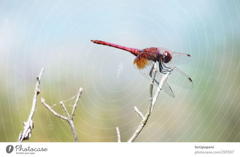 Elle Bil Natur Pflanze Tier Sommer Schönes Wetter beobachten festhalten fliegen warten ästhetisch dünn elegant blau grün rot Optimismus Stolz Beginn