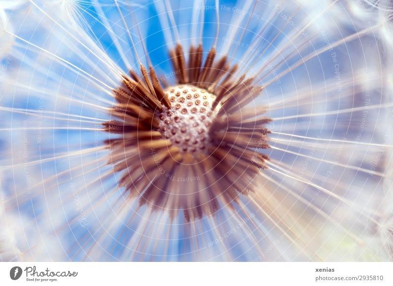 Pusteblume Natur Pflanze Blüte Löwenzahn Samen Garten Wiese rund weich blau braun weiß Leichtigkeit leicht kugelig offene Blende Farbfoto Studioaufnahme