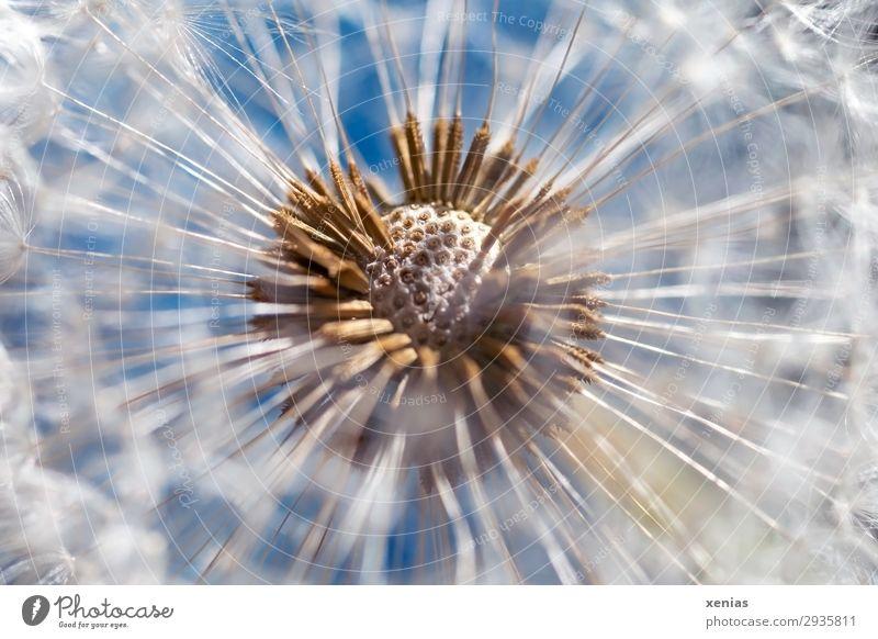 Pusteblume im direkten Sonnenlicht Frühling Sommer Pflanze Blüte Löwenzahn Samen Garten Wiese rund weich blau braun weiß Leichtigkeit Farbfoto Innenaufnahme
