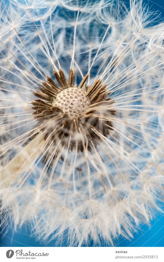 Pusteblume im Detail Natur Pflanze Himmel Frühling Sommer Löwenzahn Samen Löwenzahnsamen Garten Wiese weich blau weiß verblüht leicht Leichtigkeit