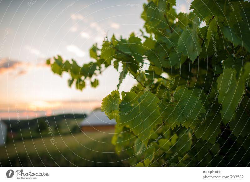 Südhang Landschaft Himmel Wolken Sommer Pflanze Wein Weinberg Dorf Frühlingsgefühle Optimismus Romantik Weingut grün Grünpflanze Horizont Mittelgebirge