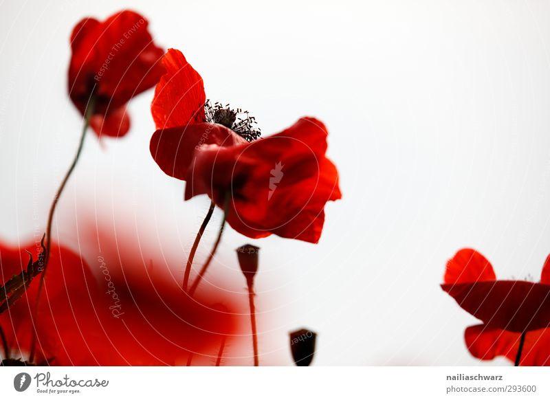 Mohn Natur schön Sommer Pflanze rot Farbe Blume Landschaft Wiese Blüte Garten träumen Stimmung natürlich Park Feld