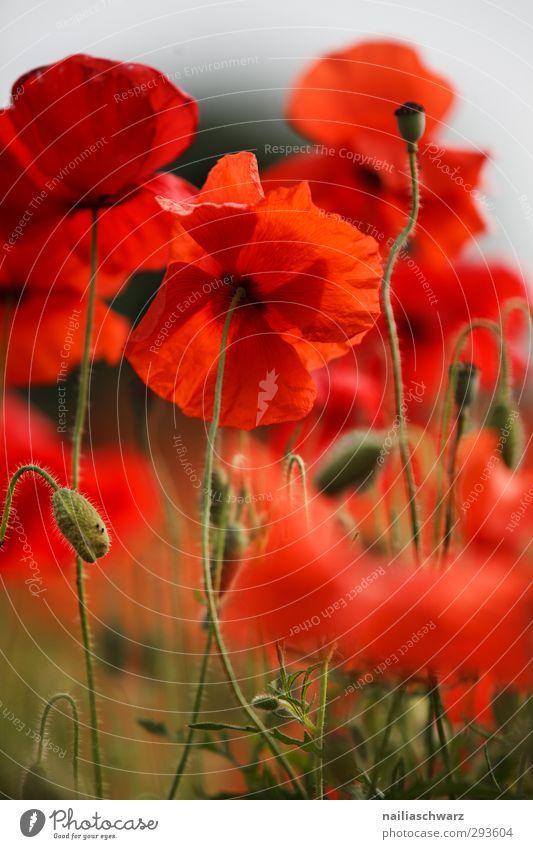 Mohn Natur schön Sommer Pflanze rot Blume Wiese Blüte Garten natürlich Park Feld Wachstum Fröhlichkeit Sträucher Romantik