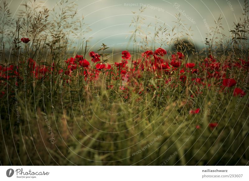 Abend Natur schön Sommer Pflanze rot Farbe Blume Landschaft ruhig dunkel Wiese Gras Frühling Garten braun natürlich