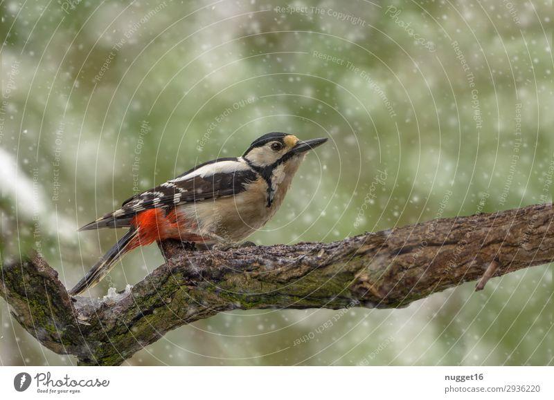 Buntspecht Natur grün weiß rot Baum Tier Wald Winter Herbst Umwelt Frühling Schnee Garten Vogel Schneefall Park