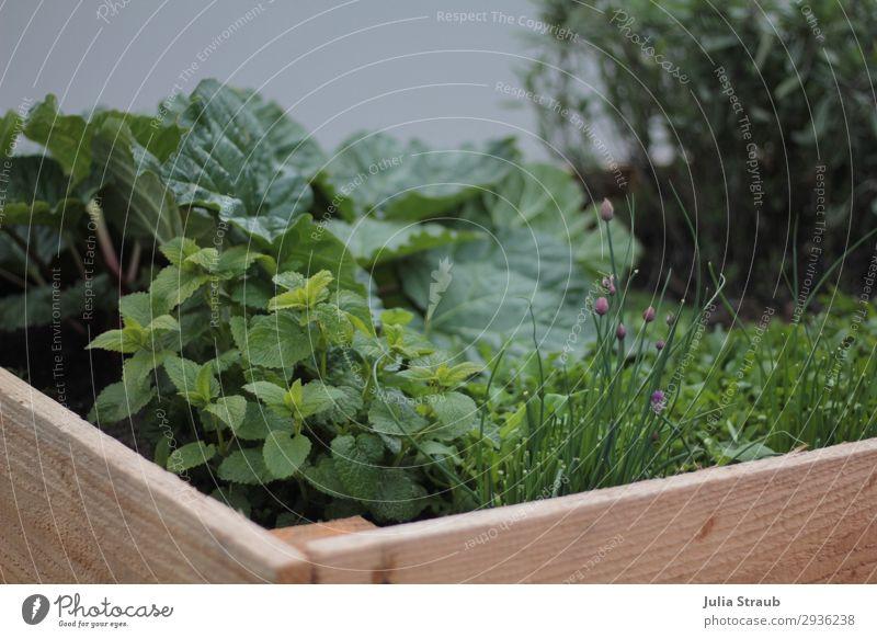 Garten Hochbeet Sommer Holz Natur Pflanze Nutzpflanze Blühend Wachstum Gesundheit Kräutergarten Kräuter & Gewürze Rhabarber Schnittlauch Minze Holzbrett frisch