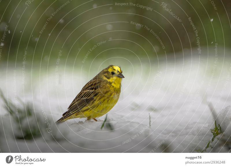 Goldammer im Schnee Natur grün weiß Tier Wald Winter Herbst gelb Umwelt Frühling Wiese Gras Garten Vogel braun