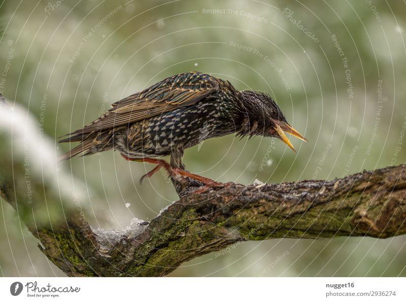 Star Umwelt Natur Tier Frühling Sommer Herbst Winter schlechtes Wetter Schnee Schneefall Pflanze Baum Sträucher Garten Park Wald Wildtier Vogel Tiergesicht