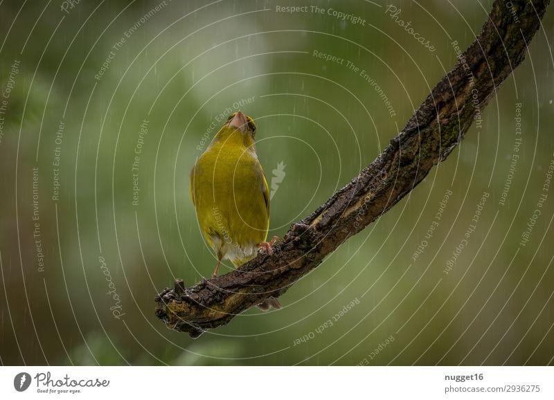 Grünfink Umwelt Natur Tier Frühling Sommer Herbst Winter Wetter schlechtes Wetter Regen Baum Sträucher Garten Park Wald Wildtier Vogel Tiergesicht Flügel