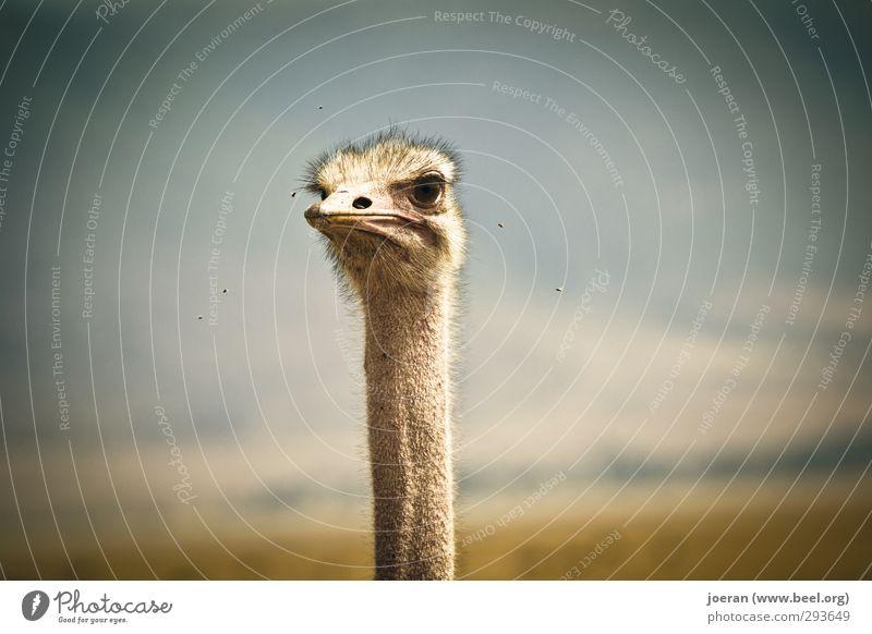 Guck mal! Tier Wildtier Strauß 1 Blick Tarangire Serengeti Ngorongoro-Krater Afrika Tansania ernst skeptisch Vogel Hals lang Fliege Farbfoto Außenaufnahme