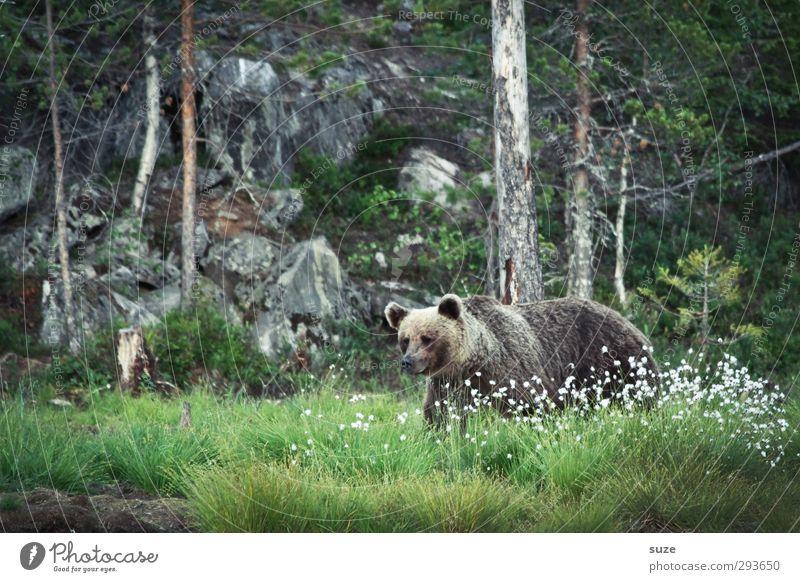Braunbär im Grünen Natur grün Tier Landschaft Wald Umwelt Wiese braun Felsen Angst Kraft wild Wildtier bedrohlich beobachten Neugier