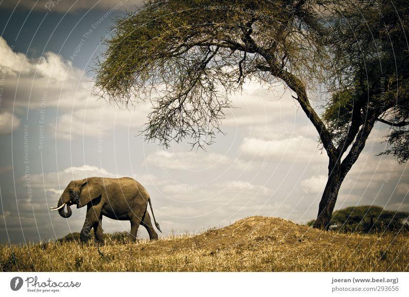 Ich geh dann mal... Natur Ferien & Urlaub & Reisen Baum Gras wandern Beginn Sträucher Abenteuer Afrika Elefant Safari Savanne losgehen Tansania Serengeti