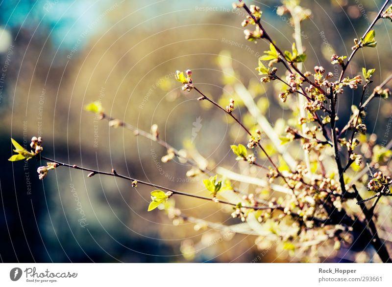 Frühlingsboten blau grün Pflanze Blatt ruhig Erholung gelb Garten braun Wachstum Sträucher Ast Blühend Blütenknospen