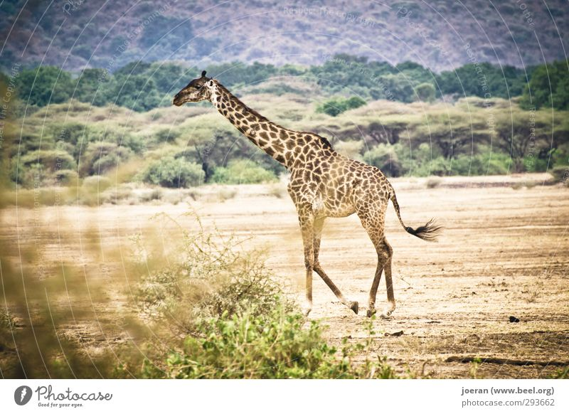 Giraffe in Afrika Ferien & Urlaub & Reisen Safari wandern Ausdauer Tarangire Serengeti Ngorongoro-Krater Tansania gehen Spaziergang Farbfoto Gedeckte Farben