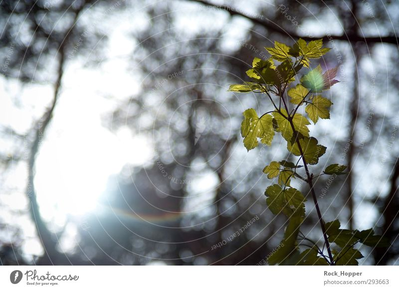 Blätter im Gegenlicht Himmel Natur grün Pflanze Sonne Blatt ruhig Erholung Umwelt Garten braun Park leuchten genießen Wellness harmonisch