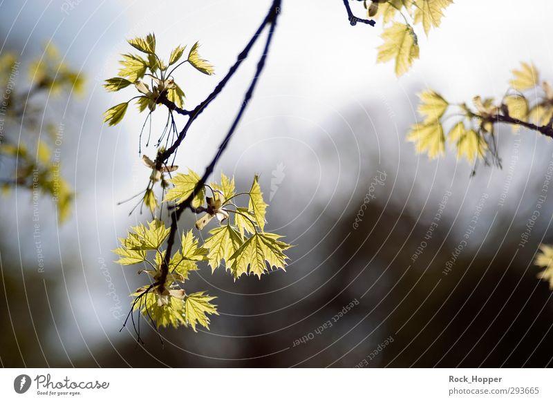 Strahlende Blätter harmonisch Erholung ruhig wandern Garten Umwelt Natur Pflanze Himmel Sonnenlicht Ast Blatt Park Wald leuchten Wachstum blau braun grün