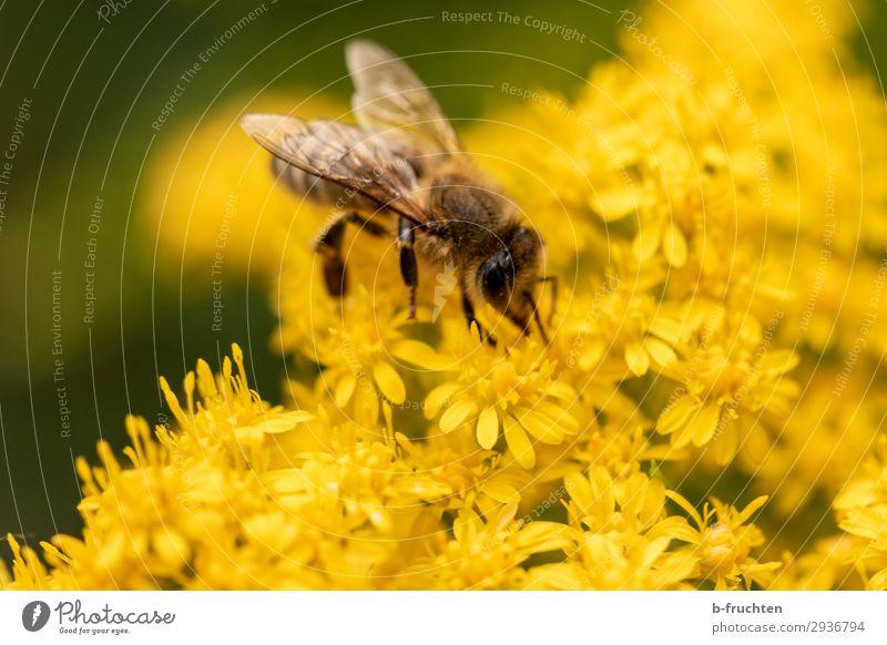 frischer Nektar Sommer Pflanze Blume Blüte Biene 1 Tier wählen beobachten berühren gelb Pollen fliegen Fröhlichkeit Außenaufnahme Nahaufnahme Detailaufnahme