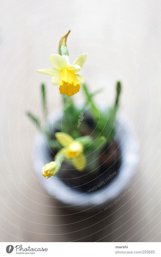 Frühlingsboten Natur Pflanze grün Blume gelb Perspektive Blühend Gelbe Narzisse